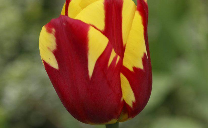 Tulpen auf der Reichenau