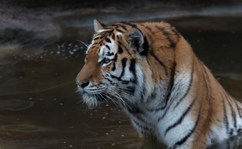 Tiger Nürnberger Zoo